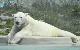 Eisbär, der Schnee wünscht Stockfotografie