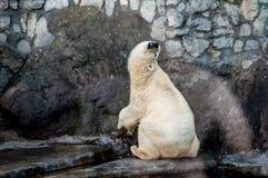 Eisbär, der seinen Hals ausdehnt und Bauch reibt Lizenzfreies Stockfoto
