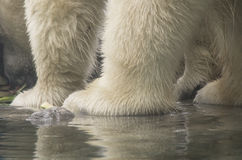 Eisbär-Füße Lizenzfreies Stockfoto