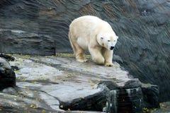 Eisbär, freundliche Tiere am Prag-Zoo Lizenzfreie Stockfotografie