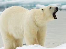 Eisbär, IJsbeer, Ursus maritimus stockbild