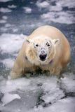 Eisbär im Eis Lizenzfreie Stockbilder