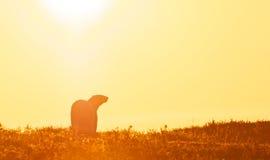 Eisbär im Sonnenuntergang Lizenzfreies Stockbild
