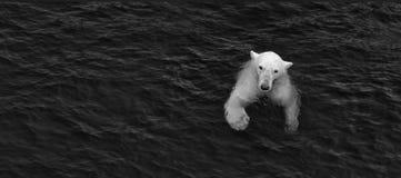 Eisbär im Wasser, Überleben im Meer Lizenzfreies Stockbild