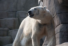 Eisbär im Zoo Lizenzfreie Stockfotos