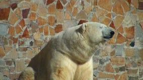 Eisbär ist auf der Sonne erhitzt stock video