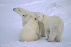 Eisbär mit ihren einjährigen Jungen stockfoto