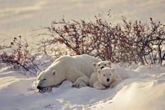 Eisbär mit ihren Jungen Stockbild