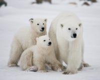 Eisbär mit Junge in der Tundra kanada Lizenzfreie Stockfotografie