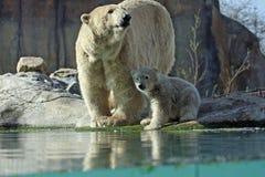 Eisbär mit Jungem Stockfoto