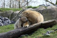 Eisbär mit Jungem Stockfotos