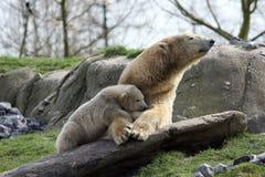 Eisbär mit Jungem Stockbild