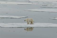 Eisbär mit Jungem Lizenzfreie Stockfotografie