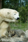 Eisbär mit Jungem (Gefangener) Lizenzfreies Stockfoto