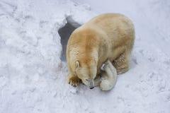 Eisbär mit Jungem Mutter und Kind, die Spaß haben Stockfoto