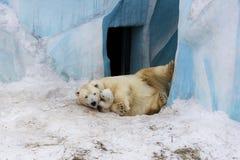 Eisbär mit Jungem Mutter und Kind, die Spaß haben Stockbild