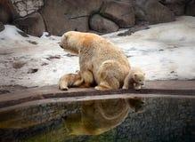 Eisbär mit Jungen Lizenzfreie Stockfotos