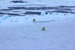 Eisbär nahe Gradnordbreite des Nordpols 86-87 Stockbild