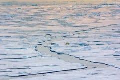 Eisbär nahe Gradnordbreite des Nordpols 86-87 Lizenzfreies Stockbild