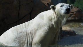 Eisbär nimmt eine Wasserdusche stockfotografie
