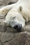 Eisbär-Schlafen Stockbild