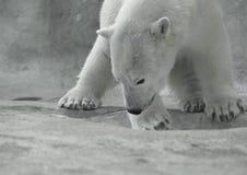 Eisbär am Spiel Stockfotos