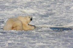 Eisbär und ein Dichtungsschlagloch Stockfoto