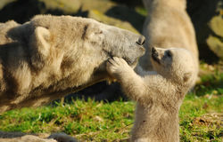 Eisbär und Junges lizenzfreie stockfotografie