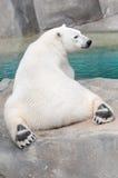 Eisbär (Ursus maritimus) stockbild