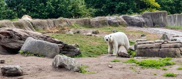 Eisbär Ursus maritimus, alias weißer Bär, gehend und schauen zur Kamera Dieser Bär ist hauptsächlich zur Arktis gebürtig stockfoto