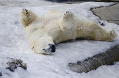 Eisbär vom Toronto-Zoo Lizenzfreies Stockfoto