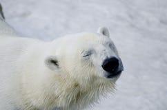 Eisbär vom Toronto-Zoo Lizenzfreies Stockbild