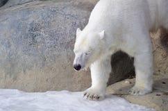 Eisbär vom Toronto-Zoo Stockfotografie