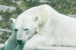 Eisbär, welche nach folgender Mahlzeit sucht Lizenzfreie Stockfotografie