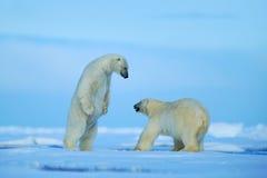 Eisbär zwei, der auf Treibeise im arctict Svalbard kämpft Stockfoto
