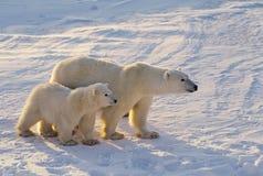 Eisbären Lizenzfreie Stockfotografie