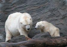 Eisbären! Stockfotos