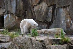 Eisbären außerhalb ihrer Höhle Stockfoto