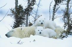 Eisbärjunge mit Mutter im Schnee Yukon lizenzfreies stockbild