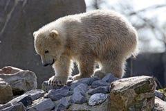 Eisbärjunges Lizenzfreies Stockfoto