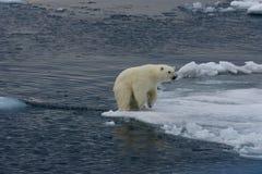 Eisbärjunglandung nach Sprung 2 Lizenzfreies Stockfoto