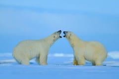 Eisbärkonflikt mit der offenen Schnauze in Svalbard stockbilder