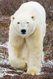 Eisbärnähern Lizenzfreie Stockbilder