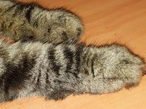 Eisbeine einer braunen Katze der getigerten Katze mit dem langen Haar Lizenzfreies Stockbild