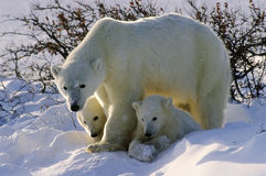 Eisbären Stockbild