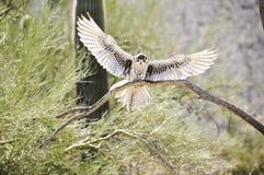 Eisenhaltiger Falke Stockfotografie