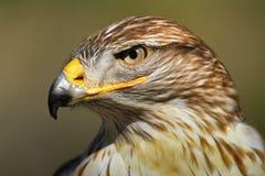 Eisenhaltiger Falke Lizenzfreie Stockbilder