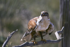 Eisenhaltiger Falke am betriebsbereiten Stockbild