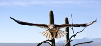 Eisenhaltiger Falke mit der großen Spannweite sichtbar Stockfotografie