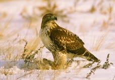 Eisenhaltiger Falke mit Opfer im Schnee stockfotos